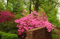 Beautiful pink azaleas blooming over brick wall in National Arboretum in Washington, D.C.