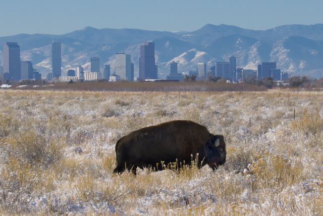 Buffalo grazing near Denver