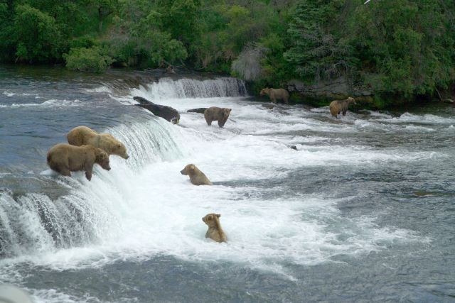 Bears on the Brooks River Alaska