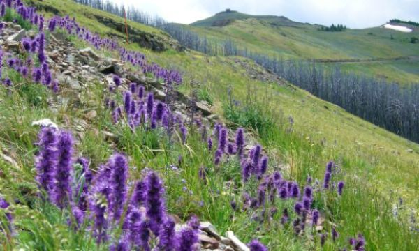 Wildflowers on Mt. Washburn, Yellowstone National Park