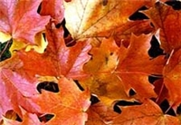 Picture of Colorful Fall Leaves
